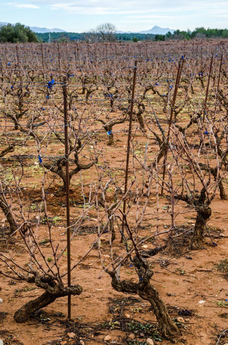 Winnice na wyspie Hvar